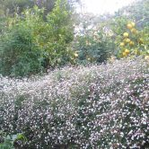 Uccello Lane - Early Days - Seaside Daisy Wall