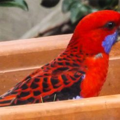 Check out whats here waiting for the King Parrot to finish