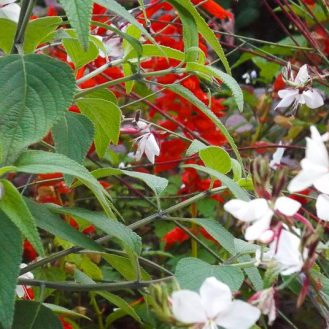 Red Salvias and Gaura - Butterfly Plant