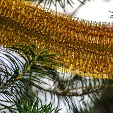 Hairpin Banksia - Trees and Foliage at Uccello Lane