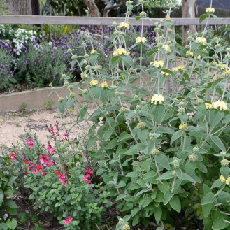 Outside the Secret garden - Salvia and Yellow Flower