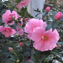 Camellia Buds and Blooms
