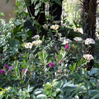 Outside the Wall Salvia and Verbernum