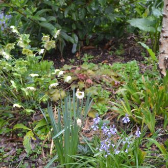 Helibores and BlueBells