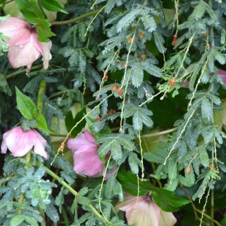 Hellebores and Wattle