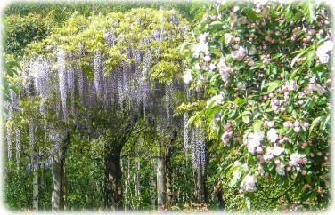 Wisteria and Crab Apple