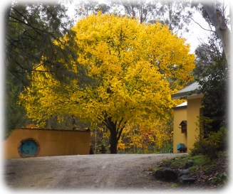 Elm Tree - Louis van Houtte finally turning yellow an getting ready to drop it's leaves