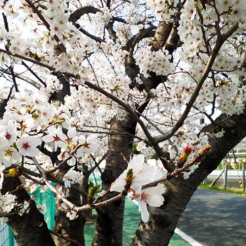 sakura_cherry blossoms