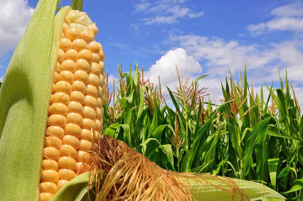 トウモロコシの粒の総数は必ず偶数になる?(025)