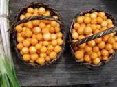 las uchuvas y su excelente calidad la uchuva phsysalis peruviana