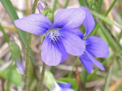 Blue_violet_flower