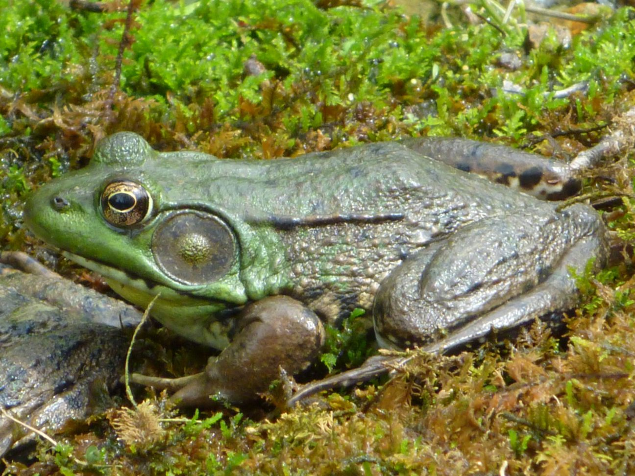 Male_Green_Frog_-_Hunterdon_County,_NJ