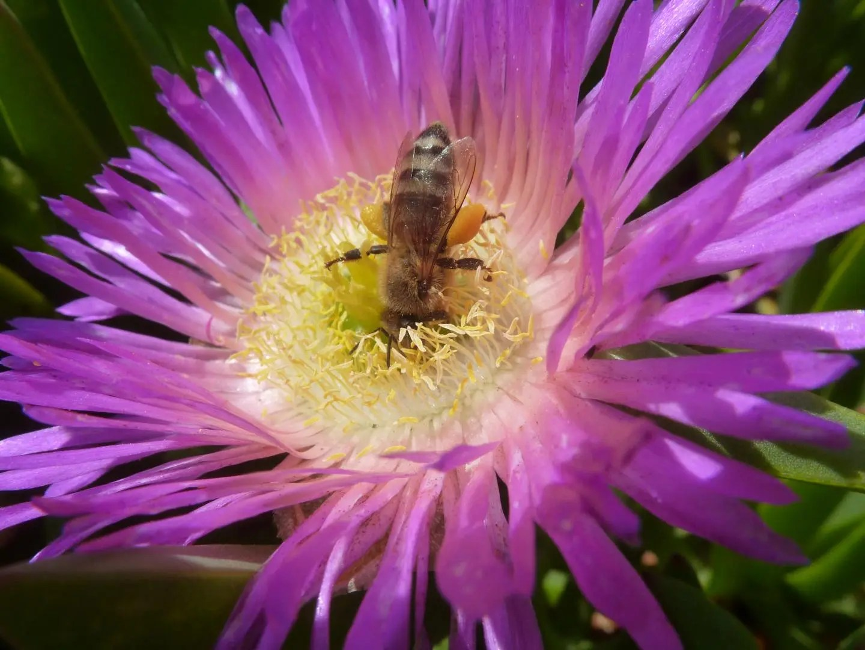 honey bee pollination