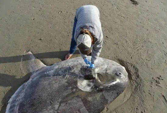 Woman wearing blue nitrile gloves and a baseball cap uses scissors to snip a sample of the pectoral fin of the mola tecta which is lying on the sand of the beach. Its head is visible. The fish is almost perfectly oval except for a long vertical fin below its boy.