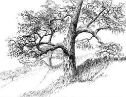 Blue oaks at Sedgwick Reserve.  Art by Margaret L. (Peg) Herring.