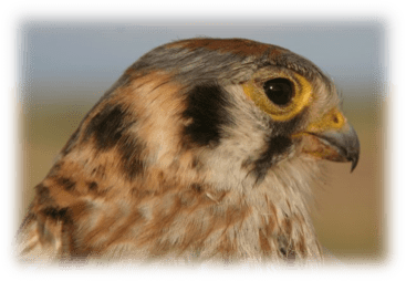 Bold markings and bright plumage make the American kestrel easy to identify. Image credit: Steve Shackleton