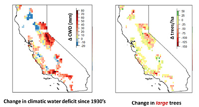 Areas with the most water stress (left red) have also lost the most large trees (right red).