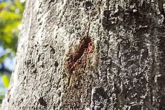 sudden oak death study