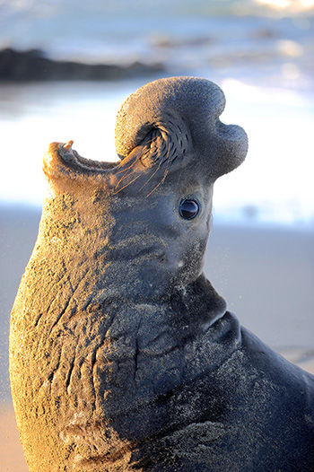 elephant seal voice recognition