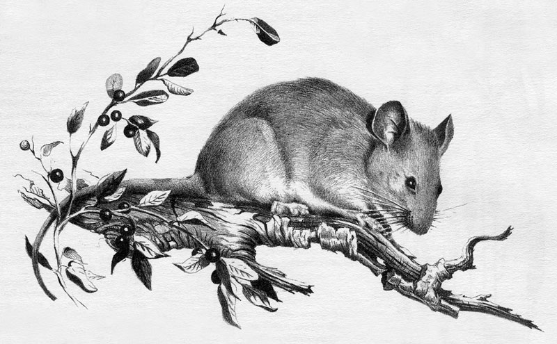 Dusky-footed woodrat (Neotoma fuscipes). Illustration by Paul Whitman. Reproduced with permission of The Regents of the University of California.