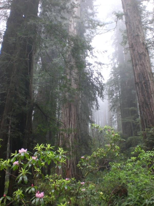 fog and redwood health