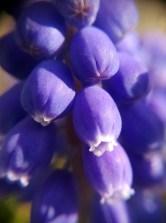 Hyacinth close-up