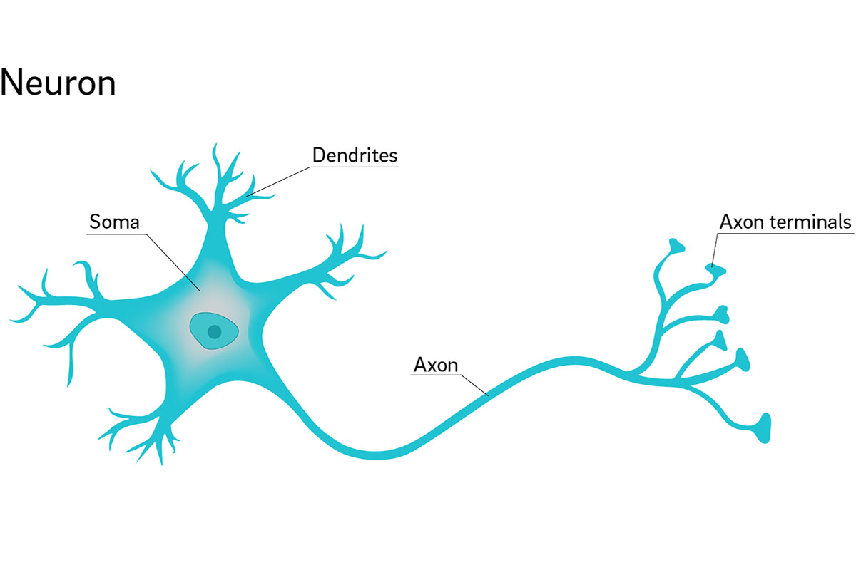 Why Are Neuron Axons Long And Spindly