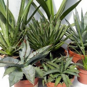 Агава комнатное растение – правила выращивания и ухода. Агава американская: уход в домашних условиях, особенности выращивания и отзывы