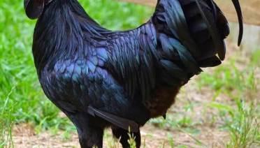 jual Ayam cemani