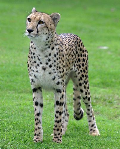 Web mjesto za upoznavanje geparda