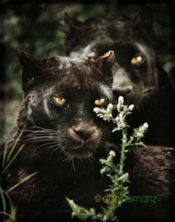 Две черные пантеры с желтыми глазами. Фото