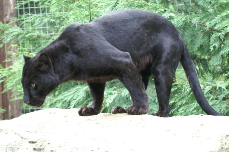 Черная пантера в зоопарке. Фото