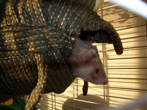 Хорек выглядывает из подвесного домика-рыбы. Фото