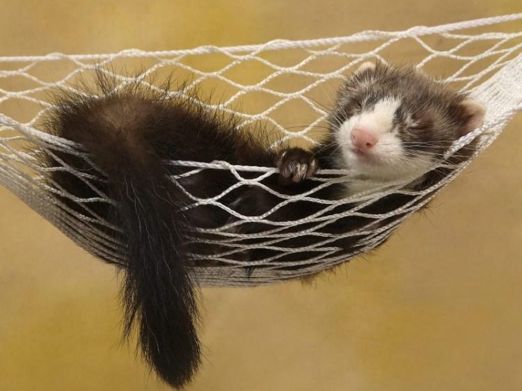 Хорек спит в гамаке. Фото