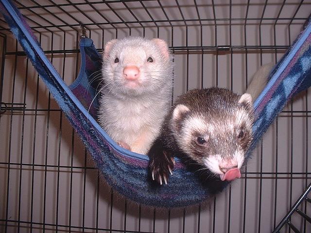 Два хорька в гамаке в клетке. Фото