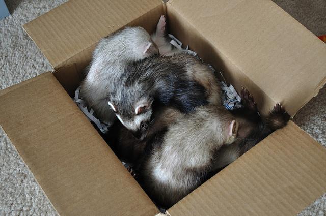 Хорьки в коробке с мелко нарезанной бумагой. Фото