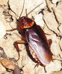 Самое быстрое насекомое - американский таракан. Фото