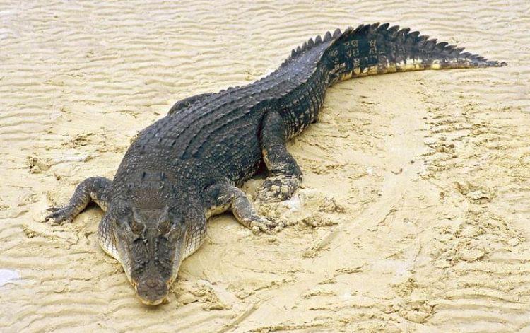 Самая большая рептилия - гребнистый крокодил. Фото