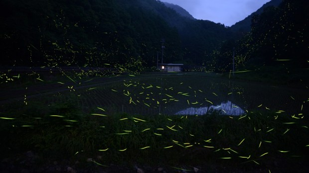 Светлячки в лесах Японии. Фото