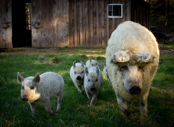 Свиньи породы венгерская пуховая мангалица. Фото