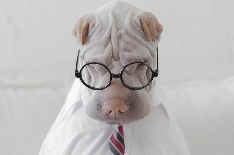 Паддингтон – самый фотогеничный шарпей Инстаграма. Фото