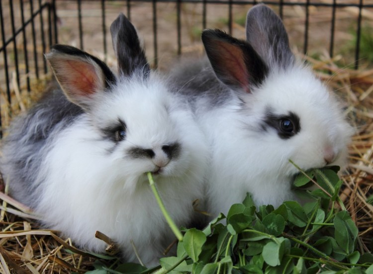 Ангорский кролик - самая пушистая порода в мире. Фото