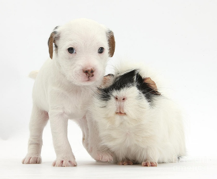 Порода собак джек-рассел-терьер. Фото