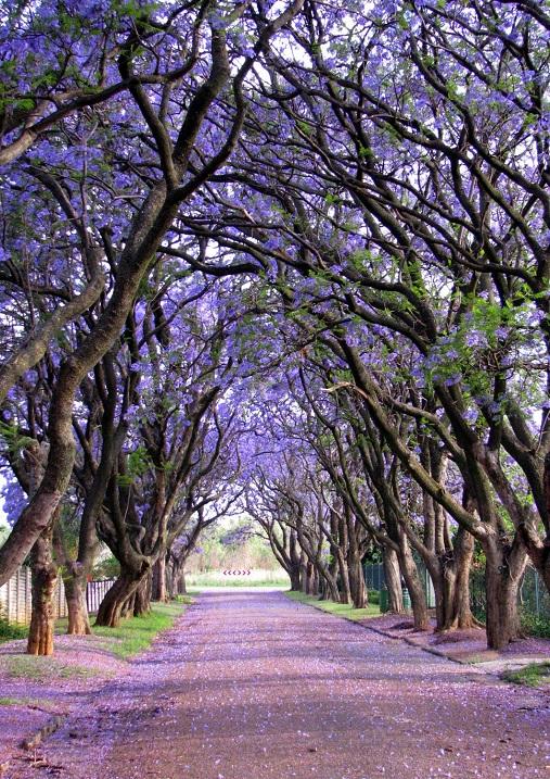 Жакаранда (фиалковое дерево). Фото