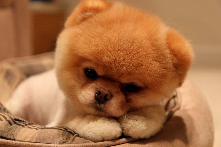 Сонный шпиц Бу. Фото