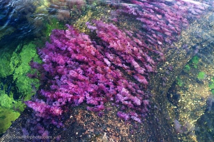 Сиреневые водоросли реки Каньо Кристалес. Фото