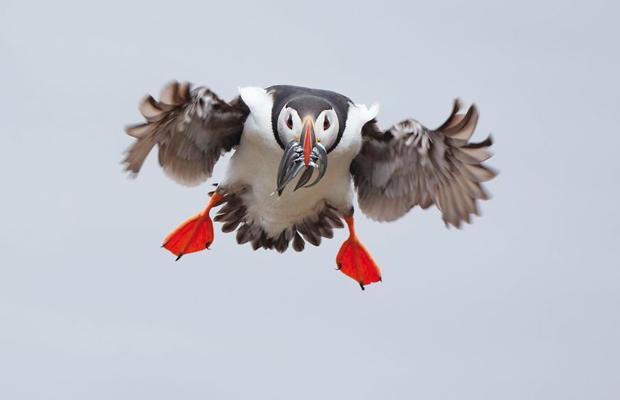 Тупик летит с рыбой. Фото