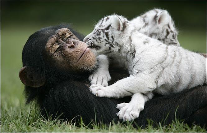 Шимпанзе Аджанта лежит с двумя белыми тигрятами. Фото