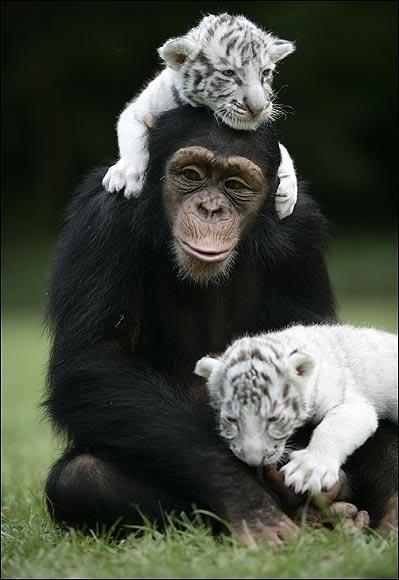 Шимпанзе Аджанта играет с двумя белыми тигрятами. Фото