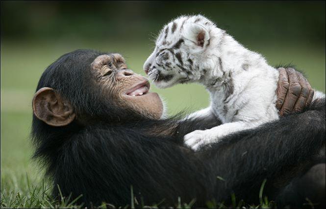 Шимпанзе Аджанта лежит в обнимку с белым тигренком. Фото